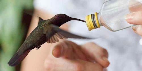 Hummingbird Being Fed